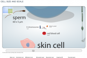 Zooming into increasingly small size comparison of cells.